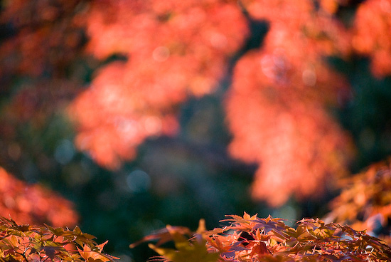maple leaves_1088