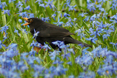 Earthworm (binaryCoco) Tags: blue friedhof black green feeding linden hannover grn blau turdusmerula scilla blackbird schwarz turdus amsel scillasiberica blaueswunder regenwurm merula blaustern schwarzdrossel siberica rainworm sibirischerblaustern slbfeeding