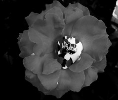 Camofloge Rose (Gothic Edge) Tags: roses canon gray pick gutair g10 camofloge
