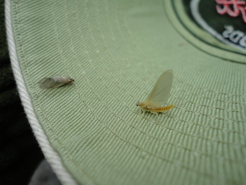 Caddis and Sulphur Mayfly