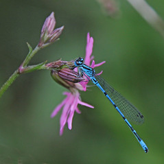 Azure Damselfly (Coenagrion puella) on Ragged Robin [EXPLORED] (Eiona R.) Tags: wales carmarthenshire llanelli explore sos damselflies wfc azuredamselfly coenagrionpuella llanelliwwt lttf