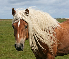 Beautiful blond hair! (Ingrid0804) Tags: horse beauty blond equine blondhair beautifulhorse gorgeoushorse equineportrait 100commentgroup blondmane saariysqualitypictures luxuriousmane flickrstruereflection1