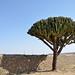 Cactus tree along palace wall