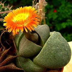 Pleiospilos (bolusii?  nelii?) (yoel_tw) Tags: aizoaceae pleiospilos anawesomeshot bestofbestnature arealgem exquisiteflowers