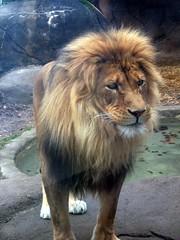 RGZ - Lion (fkalltheway) Tags: lion pantheraleo rosamondgiffordzoo socialanimals fkalltheway