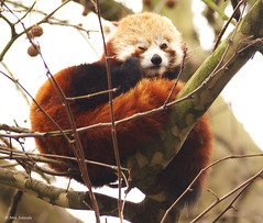 Wink wink, I'm just kidding!! (Jolanda van Tuijl) Tags: red tree beer zoo rotterdam blijdorp panda rood anawesomeshot mrsjolanda 28122007