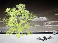 Green Picnic (zachstern) Tags: trees wallpaper tree green landscape ir arbol tr boom rbol infrared   albero tre puu arbre rvore strom baum trd  infravermelho manray    r72 copac infrarot  mytree  drzewo   stablo infrarrojos   infrapuna infrarood infrarouge  infrarossi   f717ir  inframerah   greenpicnic    infravrs  infraerven
