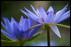 Two of a kind (Eric Flexyourhead) Tags: flowers blue flower japan lotus bokeh kakegawa kachoen zd blueribbonwinner olympuse500 40150mm shizuokaken