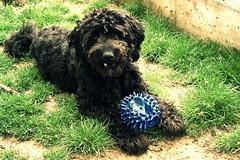 Era un riccio (*Tom [luckytom] ) Tags: dog black max cane tom blu nero palla ctm riccio barbet favcol luckytom