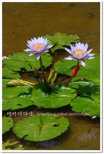 20080503桐花_092