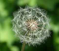 Pusteblume (die einzig wahre kratzdistel!) Tags: blume lwenzahn pusteblume
