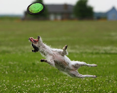 Back Flip (Emery_Way) Tags: dog jump jrt action frisbee trixie jackrussellterrier