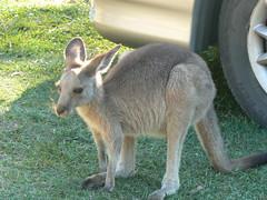 P1030094 (bucktron) Tags: australia kangaroo portmacquarie