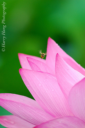 3_2135-Flowers, Lotus, Bee, Blossomy, Fullblown-Taiwan 台大農場-蓮花荷花 by Harry‧黃基峰‧Taiwan.
