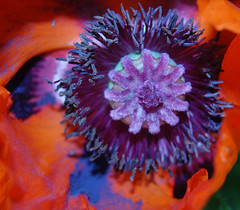 perfect papaver face
