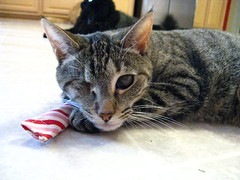 Maggie with catnip candy cane