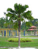 livistonia chi (rhmn) Tags: landscaping palm using plans ideas