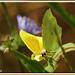Parc Natural del Garraf 08 - Mimetisme: Papallona, Gonepteryx cleopatra