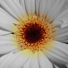 Gerbera Daisy (~Jeannine~) Tags: white flower macro yellow wow loveit gerbera daisy iq soe breathtaking gerber worldsbest masterphotographer takeabow flickrsbest savethenature bej goldenmix golddragon mywinners abigfave worldbest platinumphoto diamondclassphotographer flickrdiamond ysplix naturephotoshp theunforgettablepictures flowerwatcher overtheexcellence macromix wonderfulworldmix macromarvels betterthangood theperfectphotographer thegardenofzen goldstaraward dragongold exquisiteimage natureselegantshots rubyphotographer exquisiteflowers mimamorflowers salveanatureza awesomeblossoms pigawards
