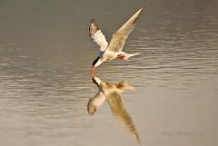 Charran comn 4 (Diego Marn Falc) Tags: naturaleza nature birds aves mallorca albufera alcudia charran supershot golddragon pentaxk10d anawesomeshot