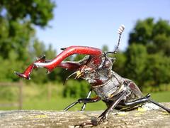 stag-beetle (g_kovacs) Tags: macro animal insect stag beetle llat starshiptroopers sonydscw1 lucanuscervus rovar bogr szarvasbogr