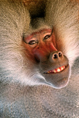 Smiling Baboon (sunspotimages) Tags: animals nationalzoo zoos wonderworld photosmiles specnature specanimal avisittothezoo worldbest impressedbeauty photostosmileabout floraandfaunaoftheworld goldstaraward itsazoooutthere awardflickrbest zoosofnorthamerica bestflickrphotography sunspotimages naturesgreenpeace