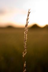 One Day I'll Fly Away (Rutger Blom) Tags: lund macro public field sunshine evening skåne sweden sverige agriculture avond makro flt veld scania zweden skane landbouw kväll zonneschijn solsken fält kvll jordbruk macromix skne