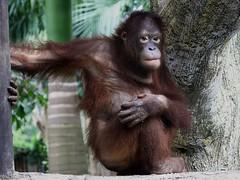 monkey pose (jobarracuda) Tags: zoo monkey philippines avilonzoo pilipinas monkeypose fz50 panasoniclumixdmcfz50 jobarracuda tamedpapajack