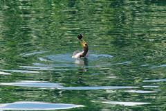 Cormorant eating trash (Mike Wacht Photography) Tags: lake water trash orlando florida eating pollution cormorant lakeeola seabird photobymikewacht