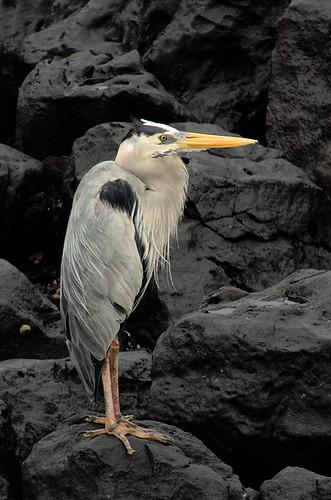 Heron in Galapagos