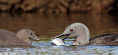 Red-throated-Diver-35