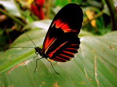 butterfly in Mindo (Romulo fotos) Tags: flowers ecology colors fauna forest ecuador flora butterflies colores mariposas ecologia tropico mindo pichincha alemdagqualityonlyclub romulomoya cordilleradelchoco