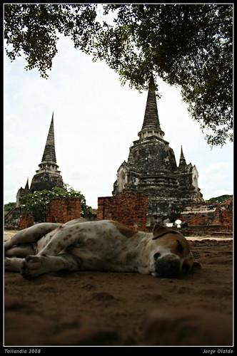 Ayutayah perro durmiendo. Sleeping dog