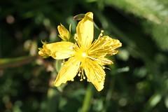 Behaartes Johanniskraut (Hypericum hirsutum) 03 (bernd1969) Tags: plant flower macro schweiz switzerland forrest herbs pflanzen wiese blumen alpen makro wald wallis kruter valis