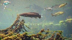 Amia Calva aka Bowfin and Sundfishes (Bemep) Tags: fish animals forest underwater florida bass central snorkeling national springs swamp alexander lawyer amia sunfish largemouth dogfish freshwater ocala muskie bowfin calva grindle mudfish grinnel choupique cottonfish