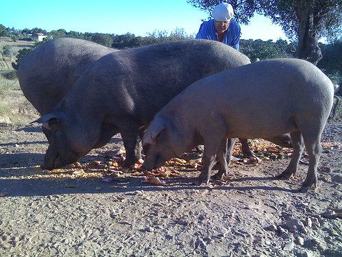 Pigs eating watermelon rinds