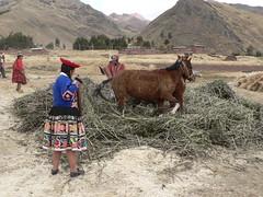 Horse-powered Bean Threshing (Lazy B) Tags: peru june cusco fz5 2008 sicuani peruvuanimages