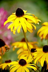 Stand Up - black-eyed susan flowers at the Oregon State Fair in Salem Oregon