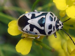 Black & White Bug (Iranian Roseate ...) Tags: wild nature beautiful beauty bug iran best irannature naturebeauty salmas beautifulbug ysplix wildbug excapturemacro flowerbugs iranbeauty iranianphotoghrapher gardeninhabitants earthinhabitants mahmoudmousavi