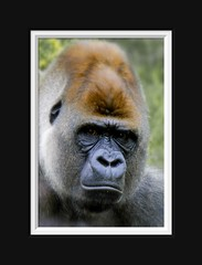 What...? (Arie van Tilborg) Tags: male gorilla leader silverback westernlowlandgorilla naturescall bokito treeofhonor arievantilborg vosplusbellesphotos