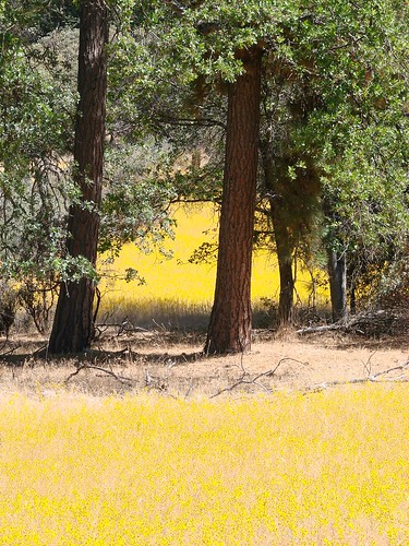 yellow tarweed fields