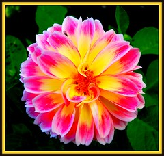 Flower Power (Mark Faviell Photos) Tags: pink flower yellow glow awesome blossoms fave bloom fabulous picnik colorphotoaward