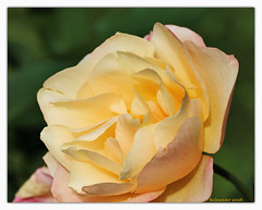 Yellow Rose (fs999) Tags: france flower macro fleur pentax alsace sensational aficionados tamron90 vob digitalcameraclub supershot flowerscolors sp90 5photosaday flowerotica fantasticflower masterphotos bokehlicious abigfave avision k10d pentaxk10d impressedbeauty ultimateshot florival greatflowermacros macrophotosnolimits flickrphotoaward theunforgettablepictures flowerwatcher brilliant~eye~jewel flickrmacroaward elitephotography macromarvels ashotadayorso justpentax goldstaraward excapturemacro tamronsp90mmf28dimacro macroflowerlovers natureselegantshots spiritofphotography topqualityimage flickrlovers awesomeblossoms topqualityimageonly colouratart fs999 elshowdelmacro goldenmasterpiece blueribbonbanned