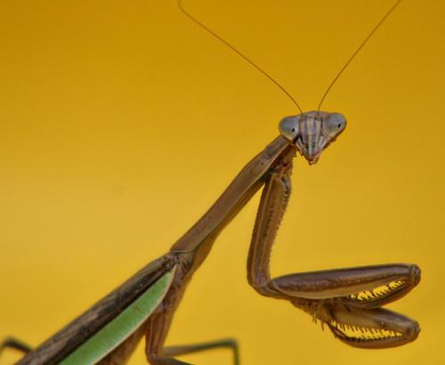 pensive mantis 2