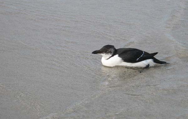 Razorbill washed up on Sennen beach