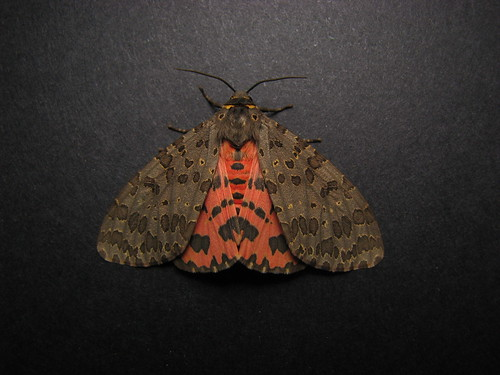 Darth Maul Moth (Pericallia ricini)