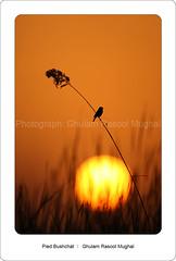 Waiting (GHULAM RASOOL MUGHAL) Tags: sunset birds wildlife silhouttes goldenlight ghulam rasool indusvalley dyingsun birdsofpakistan wildlifeofpakistan wwfpakistan birdsofwetlands chotiari birdsatsenset indusecoregion