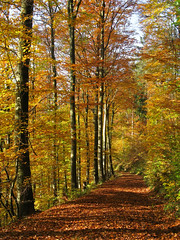 Fall (haikus*) Tags: trees fall leaves forest path soe atumn blueribbonwinner passionphotography golddragon mywinners abigfave worldbest platinumphoto anawesomeshot colorphotoaward theunforgettablepictures betterthangood theperfectphotographer goldstaraward platinumsuperstar asarvoresmorremdepetreesdiestandingup panoramafotogrfico autumn2008images