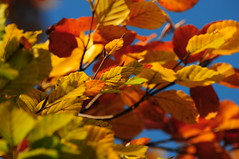 European Beech Tree (Fagus sylvatica) Leaves in Autumn / Fall Colours (Steve Greaves) Tags: autumn trees plants brown tree green fall nature leaves yellow botanical leaf branch bluesky naturalhistory foliage twig veins common botany twigs autumnal stalks europeanbeech fagussylvatica nikonafsvr70300f4556gifed nikond300
