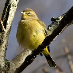 Palm Warbler (nonbreading adult) (Dah Professor) Tags: schermanhoffman kh0831 bird newjerseyaudubon nj
